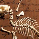 diane-dubeau-chute-lapin-tableaux-de-chasse-squelette-fourrure